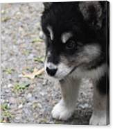 Concern On The Face Of An Alusky Puppy Canvas Print