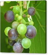 Concord Grapes On The Vine Canvas Print