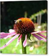Cone Flower And Honey Bee Canvas Print