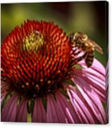 Coneflower Bee Canvas Print