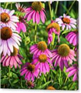 Coneflower Garden Canvas Print