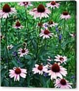 Coneflower Garden Canvas Print