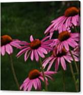 Coneflower Spray Canvas Print