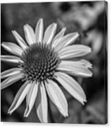 Conehead Daisy In Black And White Canvas Print