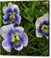 Confederate Violets Canvas Print