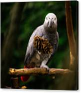 Congo African Grey Parrot Canvas Print