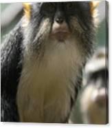 Congo Monkey2 Canvas Print