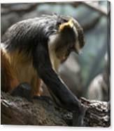Congo Monkey3 Canvas Print