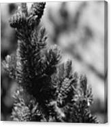 Conifer Canvas Print