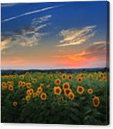 Connecticut Sunflowers In The Evening Canvas Print
