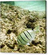 Convict Tang Canvas Print