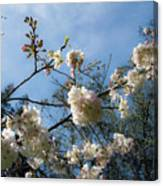 Cool Cherry Blossoms Canvas Print