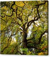 Coole Park Tree Galway Ireland Canvas Print