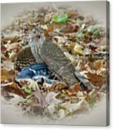 Cooper's Hawk - Accipiter Cooperii - With Blue Jay Canvas Print
