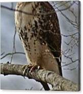Cooper's Hawk 2 Canvas Print