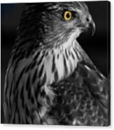 Coopers Hawk Bw Canvas Print