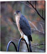 Coopers Hawk In Autumn Canvas Print