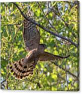 Cooper's Hawk In Early Morning Light Canvas Print