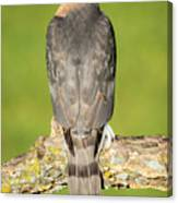 Cooper's Hawk In The Backyard Canvas Print