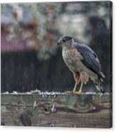 Cooper's Hawk In The Rain Canvas Print