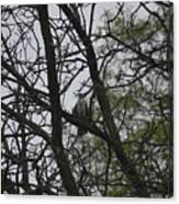 Cooper's Hawk Perched In Tree Canvas Print