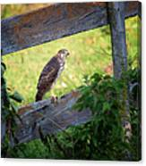 Coopers Hawk Perched On A Weathered Fence Canvas Print