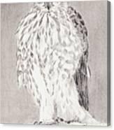 Coopers Hawk Canvas Print