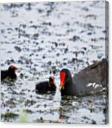 Coot Family Canvas Print