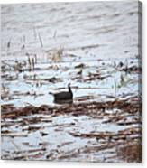 Coot In The Weeds Canvas Print