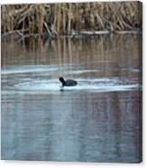 Coot Canvas Print