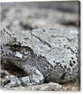 Cope's Gray Tree Frog #5 Canvas Print