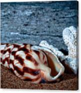 Coquina Shell Canvas Print