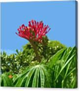 Coral Bush Jatropha Multifida With Flower And Fruit Canvas Print