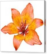Coral Colored Lily Isolated On White Canvas Print