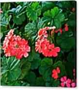 Coral Geraniums At Pilgrim Place In Claremont-california   Canvas Print