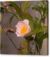 Coral Camellia Canvas Print
