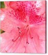 Coral Pink Azalea Goodness Canvas Print