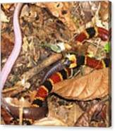 Coral Snake Snack Canvas Print
