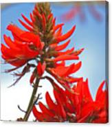 Coral Tree Blooms Canvas Print
