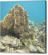 Coral Tree Canvas Print