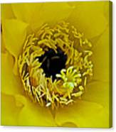 Core Of A Yellow Cactus Flower At Pilgrim Place In Claremont-california Canvas Print