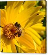 Coreopsis Beauty And The  Bee. Canvas Print
