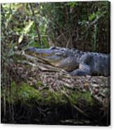 Corkscrew Swamp - Really Big Alligator Canvas Print
