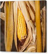 Corn Cobb On Stalk Canvas Print