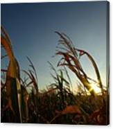 Corn Field In Sunset Canvas Print