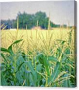 Corn Field  Canvas Print