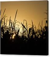 Corn Field Sunrise Canvas Print