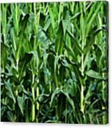 Corn Field's First Row Canvas Print