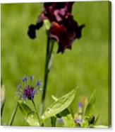 Corn Flower With A Friend Visiting Canvas Print