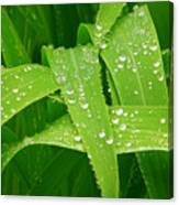 Corn Leaves After The Rain Canvas Print